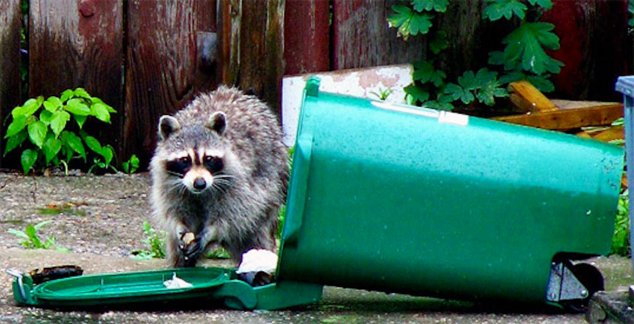 raccoon-trash-collector